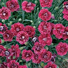 """Colors never fade...on this red dianthus.  Fruit Punch® Pomegranate Kiss is a colorful, fragrant perennial with deep velvety red flowers splashed with rose pink and have a matching rose pink, sharply serrated edge.  It's low, compact growth of blue-green foliage grows 6"""" in height and spreads to 8"""".  Makes an excellent edging plant.  Easy-to-grow in zone 4-9 and is heat tolerant. A Proven Winners® 2013 Introduction. emfl.us/6PEd"""