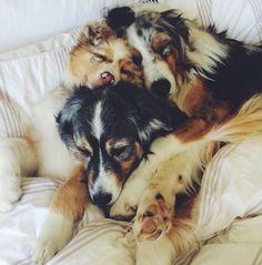Amazing dog pile. Australian shepherds
