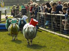 In a close run contest, racing sheep at Hatton Adventure World, near Warwick, competed on their own Grand National track with 'Monbeg Dude' coming home first ahead of Tidal Bay and Sunnyhill Boy.