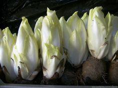 Witlof kweken kan zelfs zonder groentetuin - GroentenInfo