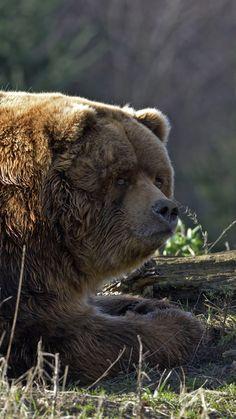 1080x1920 Wallpaper bear, timber, thick, lying