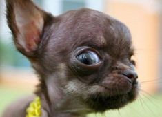 """""""What iz this bell of taco that ju speak of?"""" #chihuahua"""