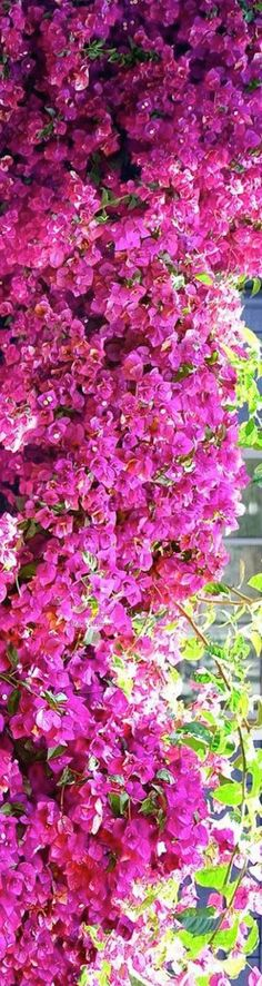 This pink bougainvillea is flourishing! | Mary Kay                                                                                                                                                      More