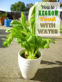 The EASIEST & Cheapest Way to Grow Organic Food! You can grow organic veggies in water only! Learn what plants grow in water. Plants Grown In Water, Water Plants, Garden Plants, Big Garden, Garden Beds, Growing Veggies, Growing Plants, Growing Lettuce, Organic Gardening