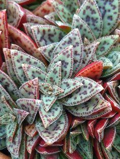 "Crassula depicted ""Jadetiger"" – Succulent diy ideas - How to Make Gardening Unusual Plants, Cool Plants, Air Plants, Garden Plants, Succulents In Containers, Cacti And Succulents, Planting Succulents, Planting Flowers, Succulent Rock Garden"