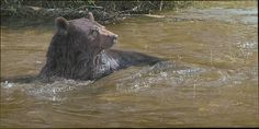 Water is an element that I enjoy incorporating in my paintings. It's always a challenge to capture the subtle nuances that occur between its reflective and transparent qualities. Bears have a penchant for water, and given the opportunity will submerge themselves exuberantly. I hope that I captured that moment in time with <em>Sublime Submersion</em>.