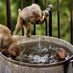 . monkey drink, monkey busi, monkeys, drinking, dani apesgorillasmonkey