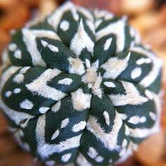 Astrophytum asterias superV