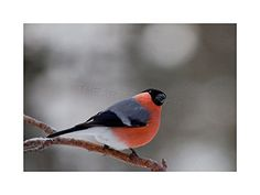 PHOTO BULLFINCH RED BREAST BIRD BRANCH WINTER FRAMED PRIN... https://www.amazon.com/dp/B00XC43P94/ref=cm_sw_r_pi_dp_x_pX3oybFSFJPFM