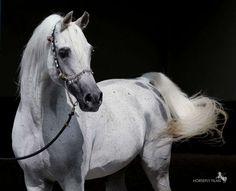 Lumiar Amadeus  (*RSD Dark Victory x *C A Sabrina)  1990 grey stallion