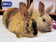 Leonard and Sheldon, Domestic rabbit, 1 Year, RSPCA Cheshire (Altrincham) Branch Long Cat, Altrincham, Pet Search, Small Cat, Adoption, Rabbit, Cute Animals, Bunny, Sadie