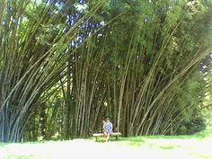 Lola's Garden in Eden Nature Park has a fantastic view of Davao City at its highest peak. Here I am hiding under the shade of its thick and long bamboo trees. Bamboo Tree, Cebu, Wonderful Places, Davao, Earth, Garden, Nature, Plants, Trees