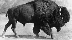 """Résultat de recherche d'images pour """"bison d'amérique"""""""