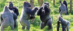 Гориллы-боксеры вышли на бой в зоопарке Великобритании « FotoRelax