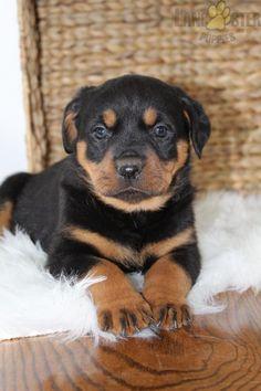 #Rottweiler #Charming #PinterestPuppies #PuppiesOfPinterest #Puppy #Puppies #Pups #Pup #Funloving #Sweet #PuppyLove #Cute #Cuddly #Adorable #ForTheLoveOfADog #MansBestFriend #Animals #Dog #Pet #Pets #ChildrenFriendly #PuppyandChildren #ChildandPuppy #LancasterPuppies www.LancasterPuppies.com Rottweiler Puppies For Sale, Lancaster Puppies, Mermaid Coloring, Cute Cats And Dogs, Animals Dog, Mans Best Friend, Puppy Love, Cuddling, Dog Cat