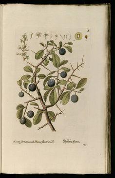 Knorr, G.W., Thesaurus rei herbariae hortensisque universalis, vol. 1: t. 144 (1750-1772)