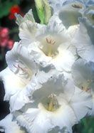 Gladiolus 'White Goddess' | From Old House Gardens