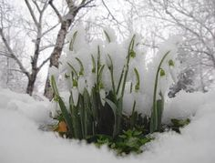 Beautiful Flowers Garden, Love Flowers, My Flower, Snowy Pictures, Beauty In Art, Winter Landscape, Early Spring, Spring Garden, Landscape Paintings