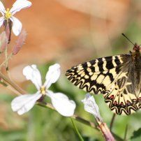 20 apr. Escursione di Pasqua 2014 sulle tracce della farfalla Cassandra. Location: Masseria Lamasanta (Costa Merlata)  contrada Lamasanta 1