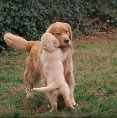 """Golden Retriever & Her Pup ~ Classic """"Hi Mom"""" Look"""