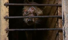 Asian palm civets are force-fed a debilitating diet of coffee berries to create Kopi Luwak, say animal welfare groups