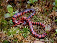 Mud Snake (Farancia abacura) http://srelherp.uga.edu/snakes/pics/faraba2.jpg