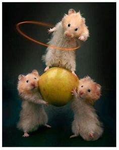Hamster circus !!!!