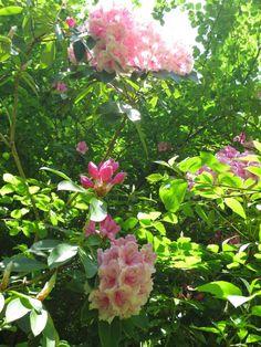 Pink Rhododendrons along the Rhododendron Walk in Powerscourt Gardens in County Wicklow, Ireland. www.powerscourt.ie #wicklow #rhododendron #gardenidea #powerscourt #garden