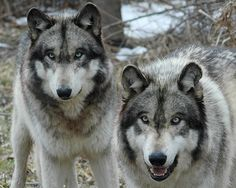wolves - Google Search