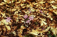 Májvirág (Hepatica nobilis, Ranunculaceae) (Turcsányi Gábor felvétele)