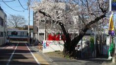 @cherub_chiki 明日を最後に地下に入ってしまう下北沢周辺の小田急線。桜の花が間に合ったのが奇跡☆ずっと踏切を見守ってきたこの老桜ともさよな... on Twitpic