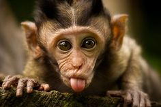 Rude Monkey Sticking Out Tongue by Franky Lie