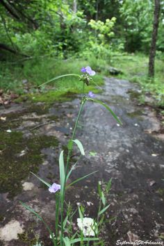 Spiderwort - via ExploringnWArkansas.com