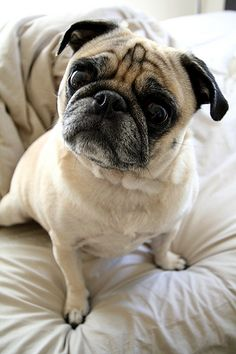 pugs on pillows Baby Dogs, Pet Dogs, Dog Cat, Doggies, Pug Love, I Love Dogs, Pug Pictures, Dog Photos, Pug Pics