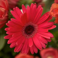 Gerbera daisy Get detailed growing information on this plant and hundreds more in BHG's Plant Encyclopedia.
