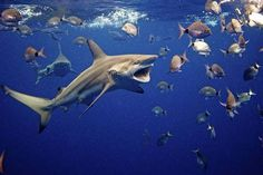 Shark Cage Diving With Sharks