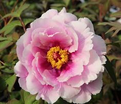 Caring For Tree Peonies - How to Get the Best From Your Tree Peony - Kelways