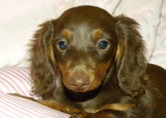 Chocolate Dachshund Pictures | CALAIS--Longhair Female Chocolate & Tan Dachshund for Sale in Hartford ...