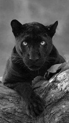 Black panther cats of the wild