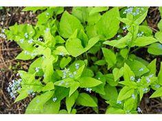 Brunnera Diane s Gold - Le jardin de Taurignan, producteur de plantes vivaces