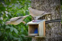 Garden, Dove, Collared, Bird, Poultry, Foraging #garden, #dove, #collared, #bird, #poultry, #foraging
