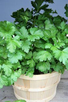 Korn, Hana, Herbs, Gardening, Plants, Balcony, Lawn And Garden, Herb, Plant