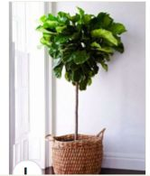 fiddle leaf tree, basket planter