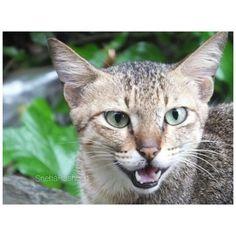 meow. #wildcat#thoseeyes#gorgeous