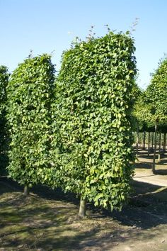 Pleached Trees Deciduous Hedges Evergreen Semi