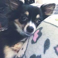 這個最黏人的小東西 #cute #chi #chihuahua #longhairchihuahua #lovechihuahua #bestdogever #prettydog #chihuahualife #chihuahualover #chistagram #chihuahuasofinstagram #chihuahuapuppy #instadog #instapet #instadoglove #dogstagram #dogsofinstagram #dogoftheday #ilovemydog #doglover #dogaccount #sf #吉娃娃 #毛小孩 #犬 #小狗 #愛犬