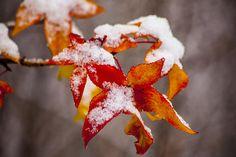 Snow in Autumn by Karol Livote