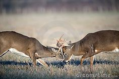 Whitetail Deer Fighting - using as a reference pic.