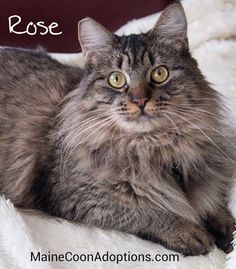 Oakland, CA, March 2015. Rose, a 1-yr-old Maine Coon mix, and 6-mo-old Robbie are a bonded pair. Watch their video! youtube.com/watch?feature=youtu.be&v=CHNjpd0v-G8 -- Available for adoption in Northern California. MaineCoonAdoptions.com