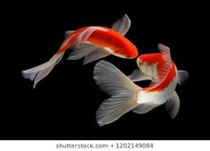 """Koi fish are the domesticated variety of common carp. Actually, the word """"koi"""" comes from the Japanese word that means """"carp"""". Outdoor koi ponds are relaxing. Koi Fish Drawing, Fish Drawings, Animal Drawings, Pretty Fish, Beautiful Fish, Koi Fish Pond, Fish Ponds, Koi Art, Fish Art"""